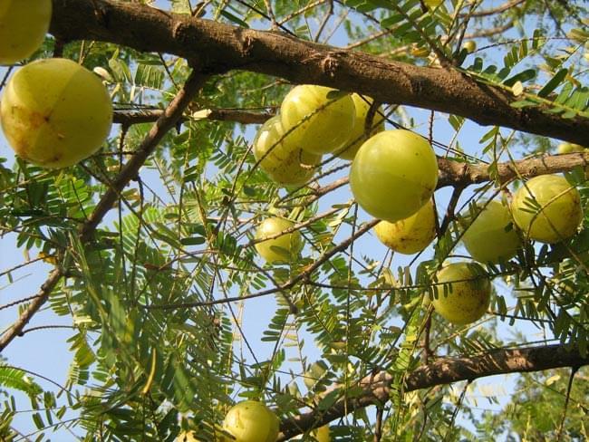 アムラ パウダー 100g 5 - アムラの木の実です