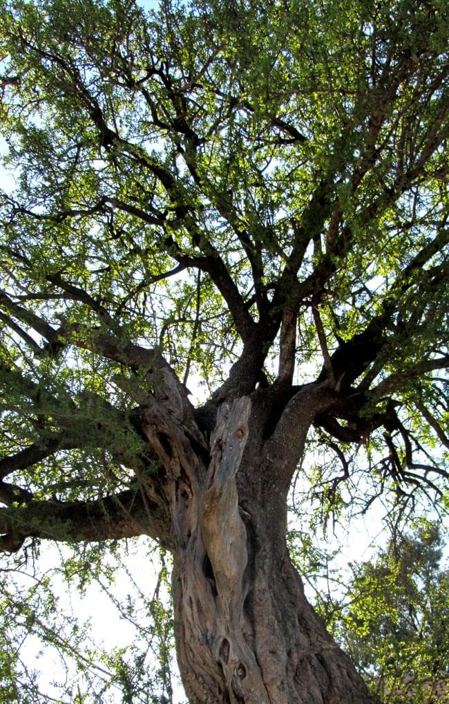 アルガン クレンジング オイル 【AGB】の写真2 - アルガンの大木です。砂漠地帯でも大きく育つ希少な樹です。