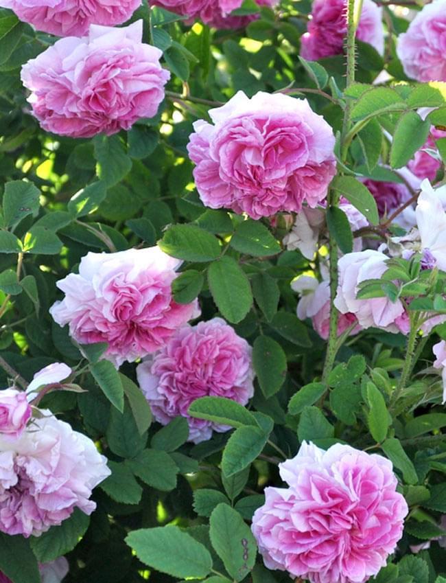 ローズ オイル ウォーター ミスト 【Jusd Olivr】の写真2 - ダマスクローズの大輪の花。この花びらを大量に使ってオイルを抽出します。