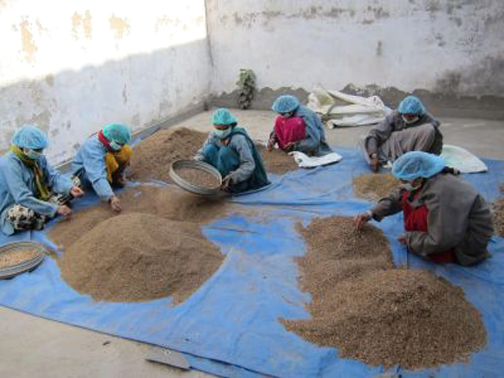 Indy Herbs Mix ヘナパウダー - Herbal Brown 7 - インド、ラジャスタンでのヘナの選別風景です