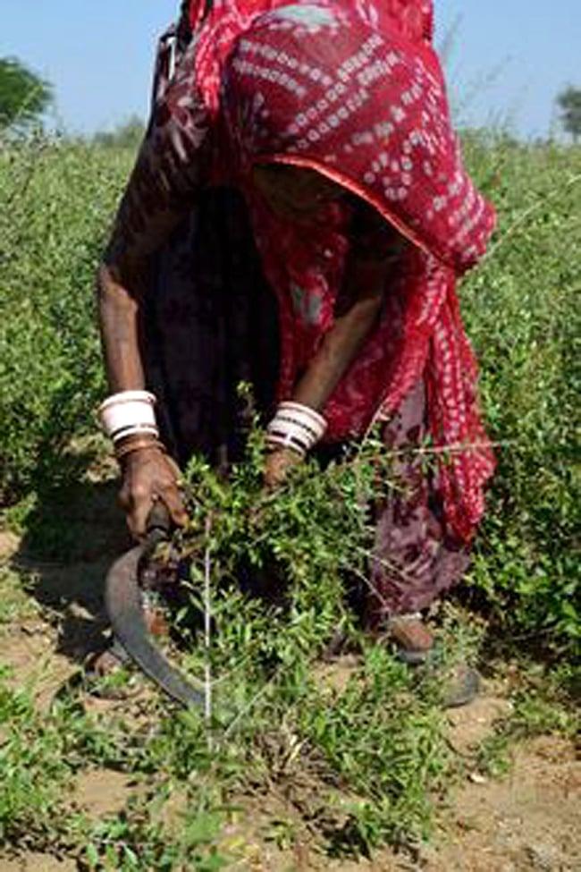 インド藍のパウダー - Indigo 8 - 人の手でヘナを刈り取っています