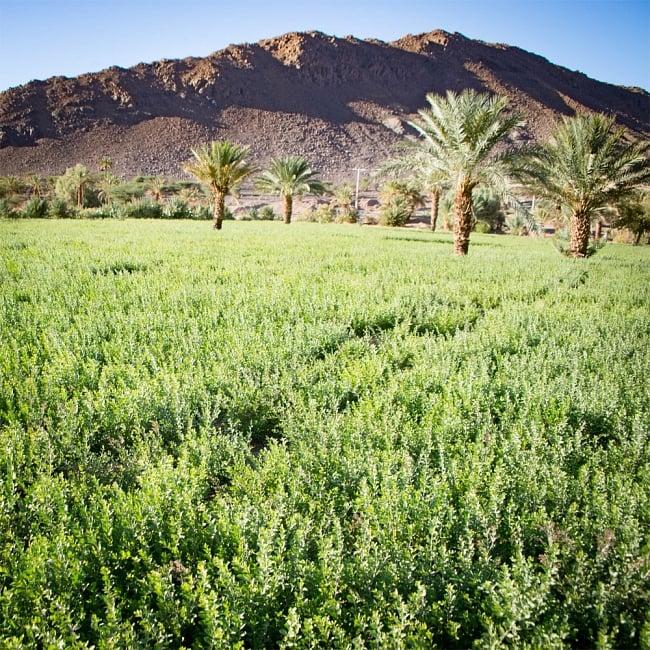 メヘンディ - Indy Herbsヘナパウダー - Sahara - モロカンヘナ 6 - 蒼いモロッコの空の下、すくすくと育ったヘナです