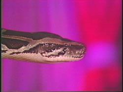 Dance of the Serpent 3 -