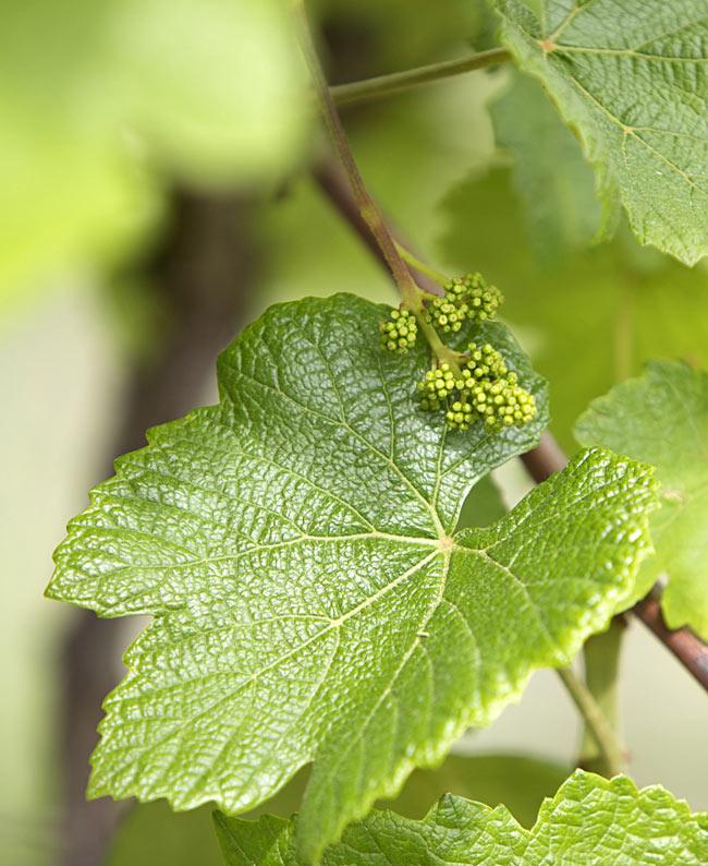 塩水漬ブドウの葉 -  Salt water Grape Leaves 【B.Mechaalany&Sons】 3 - ブドウの木になった葉です。もう少し大きくなったころに丁寧に摘み取ります。