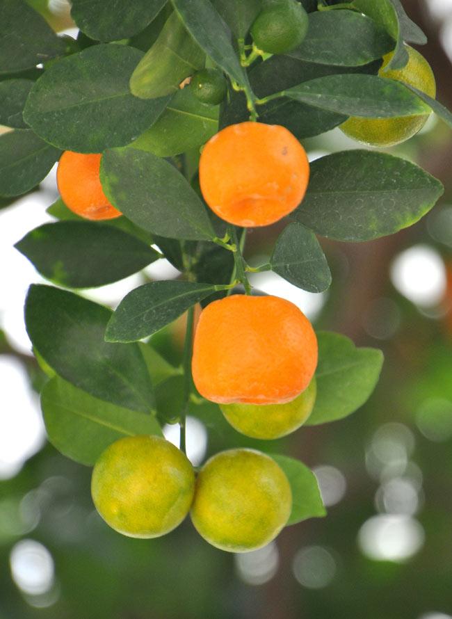 シーズニング ソース カラマンシー - Liquid seasoning Calamansi 【Savor】 4 - カマンシーの実。オレンジ色や緑色のものもある。大きさは、2〜4cmのものが多い。