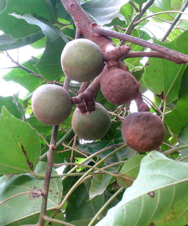 キャンドル ナッツ - Candle Nuts (Kemiri)の写真4 - キャンドルナッツの実です。ハワイでは「ククイ」と呼ばれ、食料はもとより油や染料など色々なものに使われています。
