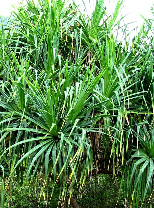 ランぺ RAMPE - パンダンリーフ Pandan  【Ayurvedic Life】 2 - 大きな大きなパンダンリーフです。東南アジアやインドやスリランカではよく栽培されています。大きな実もつけます。