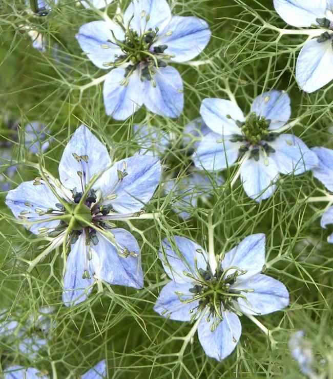 ブラッククミンシードオイル コールドプレス バージンエキストラ - ニゲラサチバ種子油 低温圧搾一番搾り 2 - ニゲラの花です。かわいい小さな花で、真ん中に種子袋ができ、そこから種が取れます。