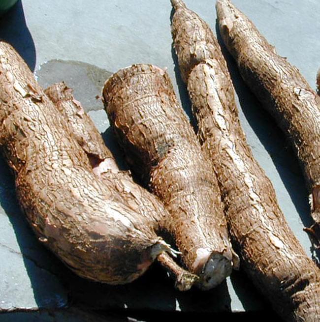 タピオカ粉[400g] 4 - キャッサバです。皮をむいて蒸したり、粉にします。意外と固いです。