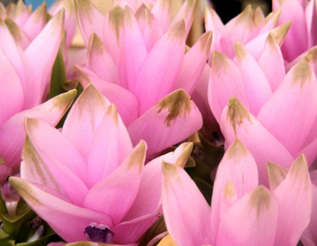 ターメリック パウダー - Turmeric Powder 【200g 袋入り】の写真4 - ショウガ科ウコン属の植物の花。ウコン属の植物は、見事な花を咲かせます。(この商品のターメリックの花ではありません。イメージです。)