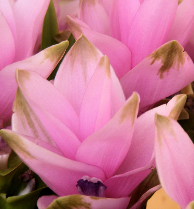【オーガニック】ターメリックパウダー - Turmeric Powder 【20g】 3 - ウコン科の植物の花。ウコン科の植物は、見事な花を咲かせます。(この商品のターメリックの花ではありません。イメージです。)