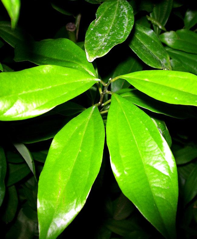 インディアンベイリーフ(シナモンリーフ) Bay Leaves 【20g袋入】 3 - シナモンの葉です。月桂樹とは、葉脈の走り方が違います。