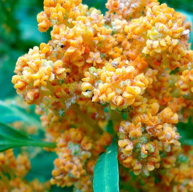 キヌア オーガニック 200g 【ALISHAN】の写真3 - キヌアの花(キヌア他品種の花です。イメージ)