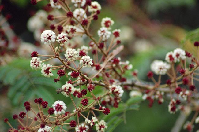 ソープナッツ - インドの天然エコ洗剤&石鹸(Aritha Powder)[250g] 7 - ソープナッツの花です(Wikipedia)