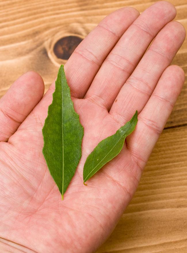 フレッシュカレーリーフ - Fresh Curry Leaves 【15g】 3 - 葉を何枚かつまんでみました。上質なリーフです。