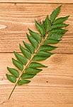 フレッシュカレーリーフ - Fresh Curry Leaves 【15g】