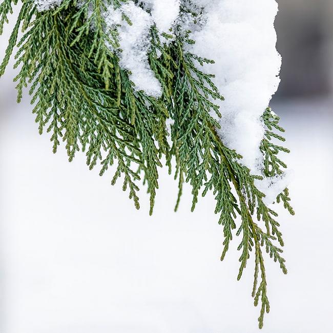 ヒマラヤスギ(Ceder)のワンド バンドル スティック [10cm  30g程度] 8 - シダーの葉っぱはこんな感じで自然の中で自生しています