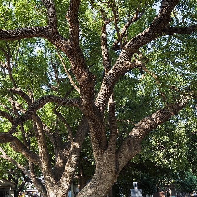 ヒンドゥー教の儀式で用いられる 樟脳の原木スティックタイプ Camphor(Kapoor) 香木 お香【約50g程度】 10 - ネパール産になります